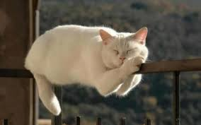White Cat Meme - cats cute white cat sleeping funny rail grumpy meme wallpapers