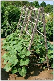 How To Grow Cucumbers On A Trellis Grow Cucumbers Garden Cucumbers Cultivating Cucumbers Gardening