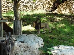 Tisch Family Zoological Gardens - a lion picture of tisch family zoological gardens biblical zoo