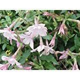 100 white nicotiana ornamental flowering tobacco