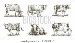 livestock images illustrations vectors livestock stock photos