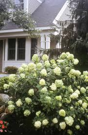 exterior design beautiful llimelight hydrangea for enchanting