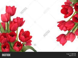red tulip flower border image u0026 photo bigstock