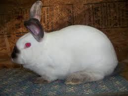rabbits for sale usa rabbit breeders