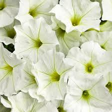 white flower supertunia white petunia hybrid proven winners