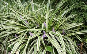 green liriope ornamental grass for sale fort myers