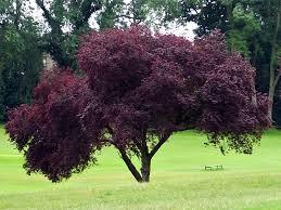 prunus cerasifera nigra the purple leaf plum yardcore