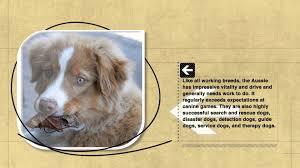 australian shepherd needs dog facts australian shepherd originated in europe not in