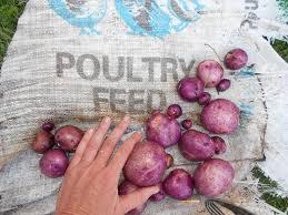 238 best veg potatoes images on pinterest gardening gardens and