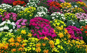 28 flowers to plant for fall planting flowers for fall and