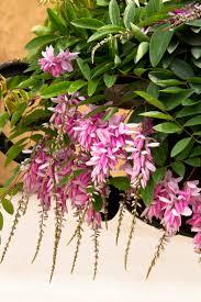 native plants of china chinese indigo monrovia chinese indigo