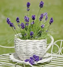 Most Fragrant Lavender Plant Lavender Plant Care It Needs A Little Bit Of Time And Expertise