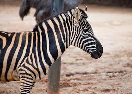 common zebra zoo atlanta