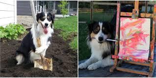 australian shepherd yoga this dog can do pretty much everything better than you secret