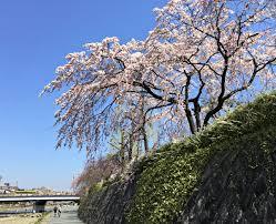 cherry blossom season in