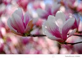 magnolia flowers flowers magnolia flowers stock picture i1352043 at featurepics