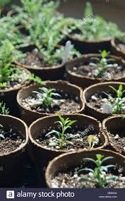 small green seedlings sprouting in rows of small pots in