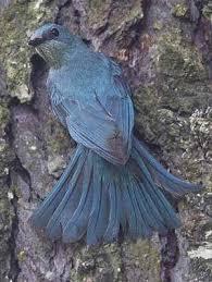 Verditer Blue Verditer Flycatcher Eumyias Thalassinus