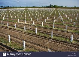 agriculture newly planted table grape vineyard utilizing