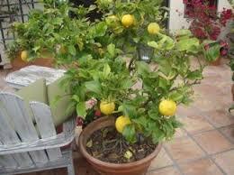 best 25 indoor lemon tree ideas on pinterest lemon plant lemon