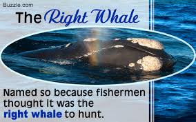 interesting facts about the curiously named right whale