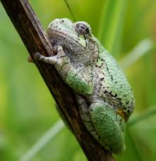 cope s gray treefrog