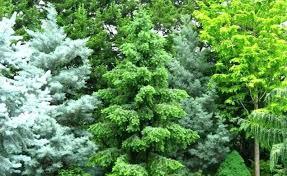 ornamental evergreen trees for small gardens garden design ideas