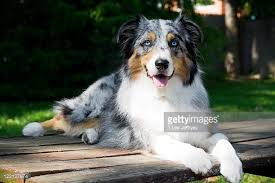 australian shepherd in california australian shepherd stock photos and pictures getty images