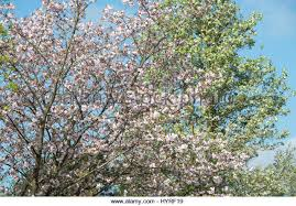 small ornamental cherry tree stock photos small ornamental