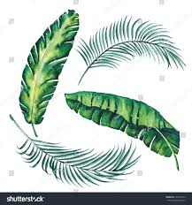 banana palm leaves tropical exotic leaf stock illustration
