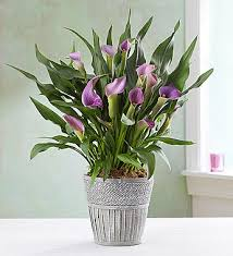 Lily Plant Elegant Calla Lily From 1 800 Flowers Com 18747