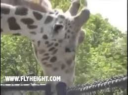 Funny Blow Job Meme - giraffe gives fence head youtube