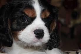 bluetick coonhound fun facts u facts mutt bluetick coonhound pitbull mix dog breed information