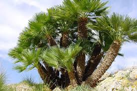 mediterranean fan palm tree master gardener how to bring palm trees into your landscape