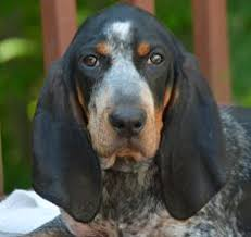 bluetick coonhound names rascal living up to his name 12 weeks bluetick coonhound