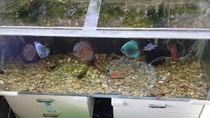 Best Substrate For Aquascaping Tank Time Discus Tank Substrate Emergency Replacement Youtube