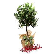 olive gifts olive tree gift by giftaplant notonthehighstreet
