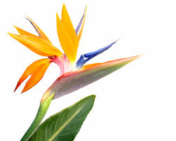 bird of paradise flower pet poison helpline bird of paradise flower toxicity in pets