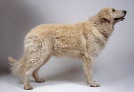 afghan hound urban dictionary kuvasz dog breed information pictures characteristics u0026 facts