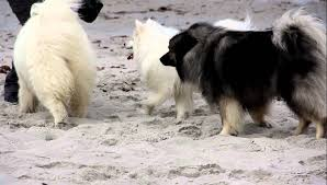 american eskimo dog corgi mix american eskimo dog pictures posters news and videos on your
