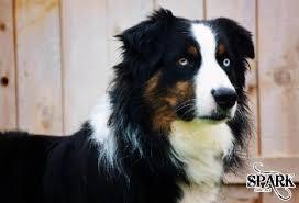 australian shepherd yahoo answers mott ranch australian shepherd puppy litters