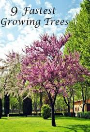 9 fastest growing trees curb appeal growing tree
