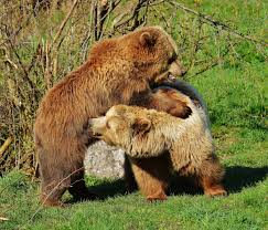 free images nature forest play fur mammal fauna brown bear