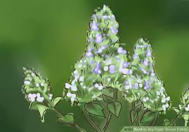 Catnip Flower - how to dry fresh grown catnip 5 steps with pictures wikihow