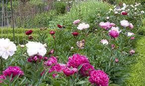 Peony Flower Alan Titchmarsh Tips On Growing Peonies In Your Garden Garden