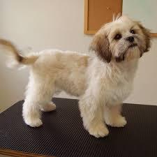 shichon haircuts shihtzu groom help i m new