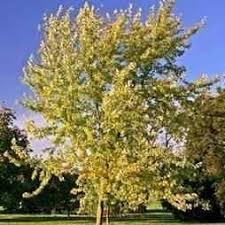 buy silver maple tree silver maple trees silver maple tree sale