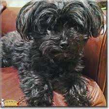 affenpinscher terrier mix baylen maltese yorkshire terrier mix may 6 2017