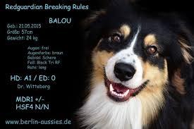 australian shepherd zu verschenken australian shepherd in berlin hunde kaufen u0026 verkaufen auf