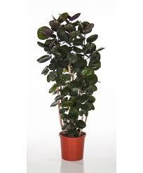 Buy House Plants Fiederaralie U0027fabian U0027 Produktbild Haus Pinterest Plants